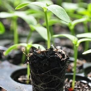 पौध उत्पादन